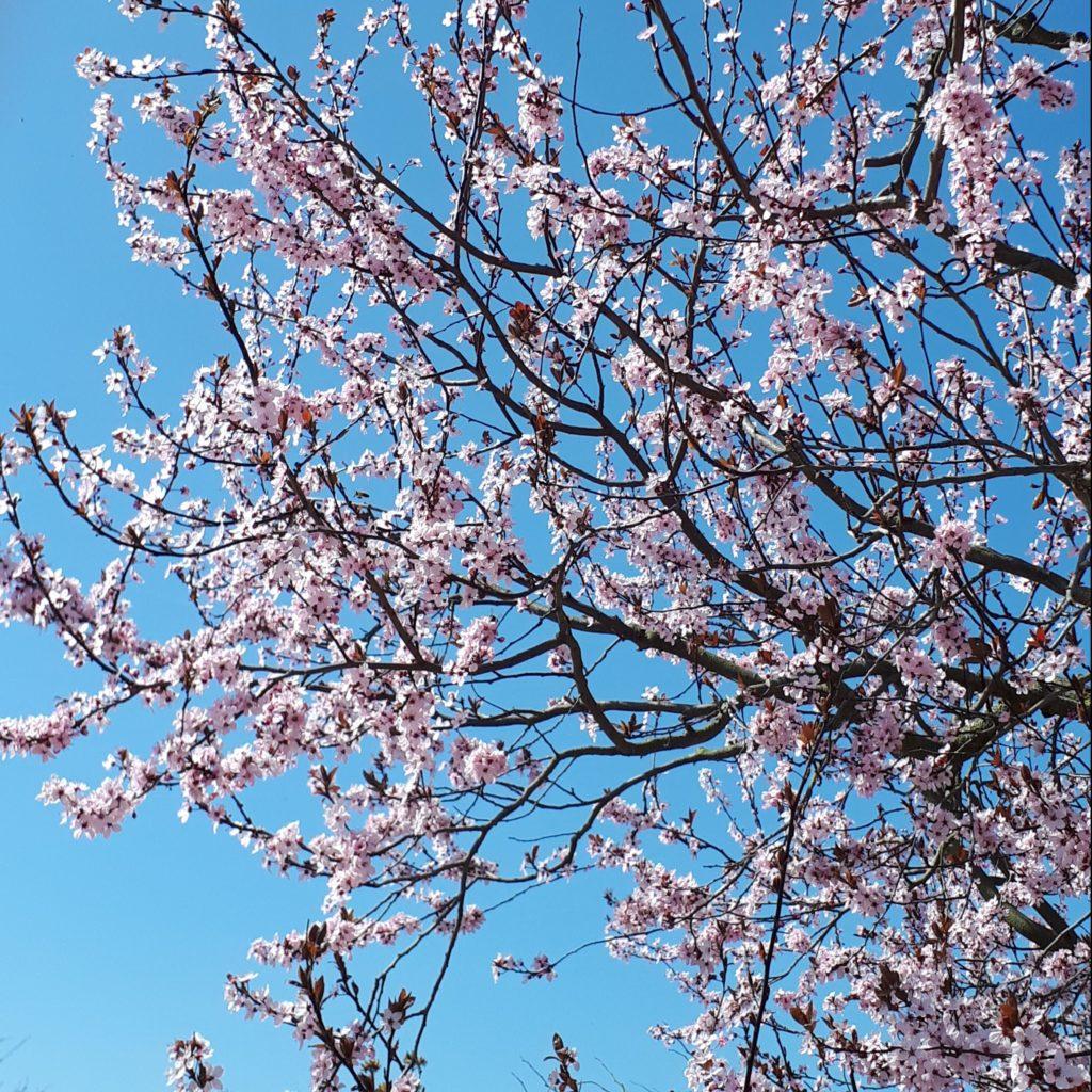 Photo d'un cerisier en fleurs. Fleurs rose poudré sur fond de ciel azur.